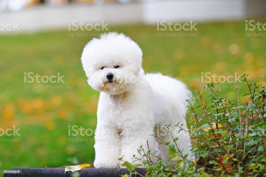 Bichon Frise dog with a stylish haircut staying outdoors near a green bush in autumn park – zdjęcie