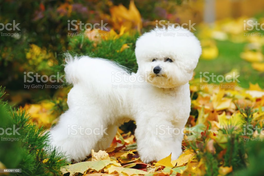 Bichon Frise dog with a stylish haircut staying outdoors on fallen leaves in autumn – zdjęcie