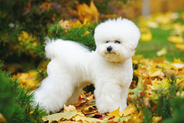 Bichon Frise dog with a stylish haircut staying outdoors on fallen leaves in autumn Bichon Frise dog with a stylish haircut staying outdoors on fallen leaves in autumn alternative pose stock pictures, royalty-free photos & images
