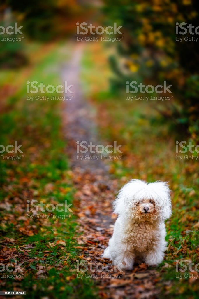 Bichon Frise i skogen bildbanksfoto