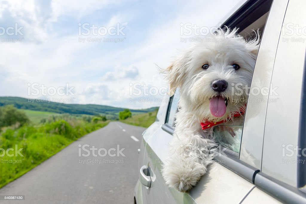 Bichon Frise Looking out of car window stock photo
