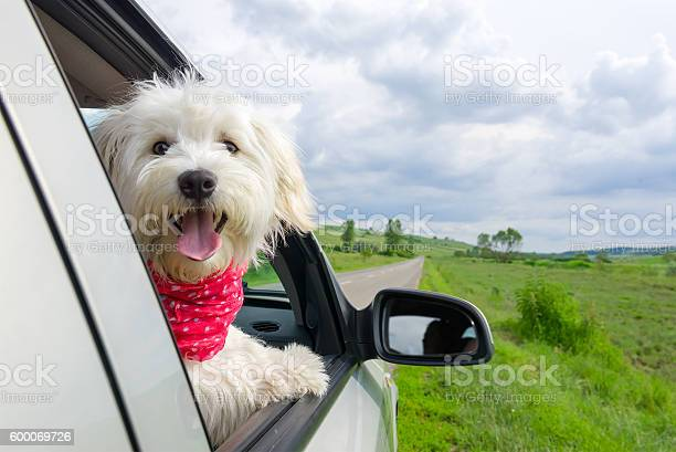 Bichon frise looking out of car window picture id600069726?b=1&k=6&m=600069726&s=612x612&h=abrivgibtpleafcwrmtk327jcl4b fjfywckokmqxti=
