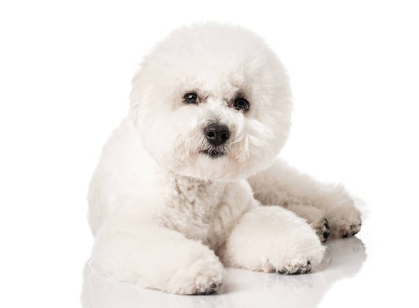 Cтоковое фото Bichon Frise puppy. Bichon is isolated on a white background. White dog. Bichon after grooming