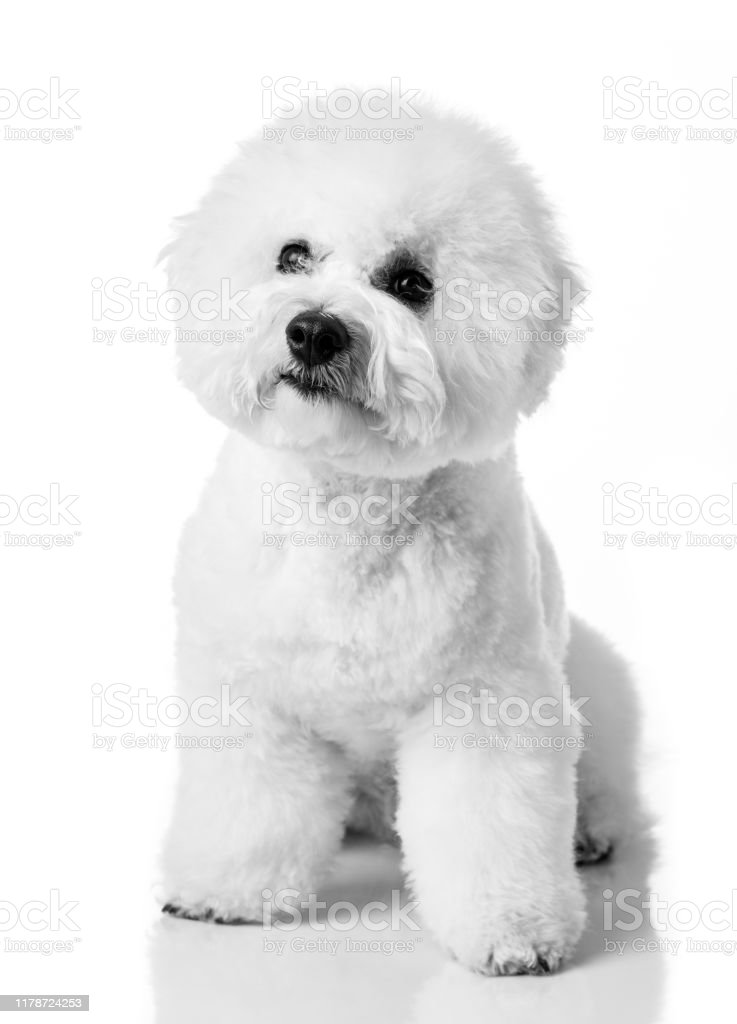 Bichon Frise Puppy Bichon Is Isolated On A White Background White Dog Bichon After Grooming Stock Photo Download Image Now Istock