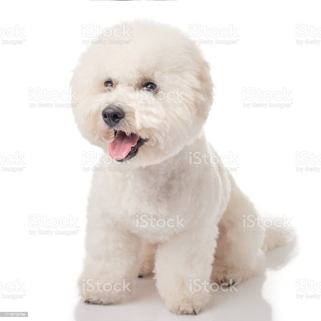 Bichon Frise Puppy Dog Isolated On A White Background White Dog Bichon After Grooming Stock Photo Download Image Now Istock