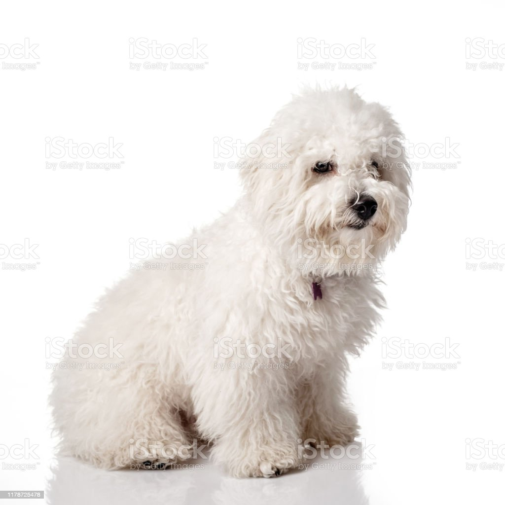 Bichon Frise Puppy Overgrown Not Trimmed Without Grooming Bichon Is Isolated On A White Background White Shaggy Dog Stock Photo Download Image Now Istock