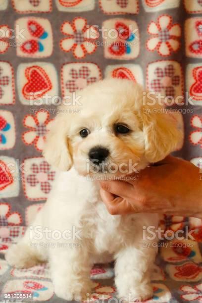 Bichon frise puppy portrait picture id951208514?b=1&k=6&m=951208514&s=612x612&h=si4wbmt8n byboerlsd ipekcwsyogc3i5tguij9cza=