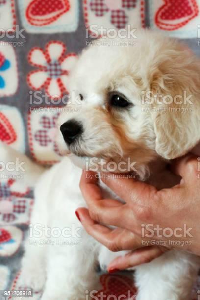 Bichon frise puppy portrait picture id951208918?b=1&k=6&m=951208918&s=612x612&h=bgx  yf55ovk1ab5a695ulgoygjkkumkrueydahqzxo=