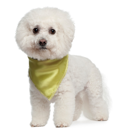 Bichon Frise Wearing Scarf 7 Years Old Standing White ...