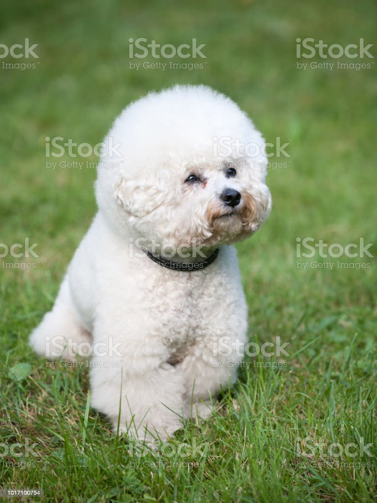 Bichon frize. Beautiful white dog in front of green lawn. Vertical...