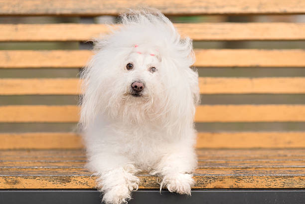 Bichon havanese dog on banch Bichon havanese dog on banch in the park bolognese sauce stock pictures, royalty-free photos & images