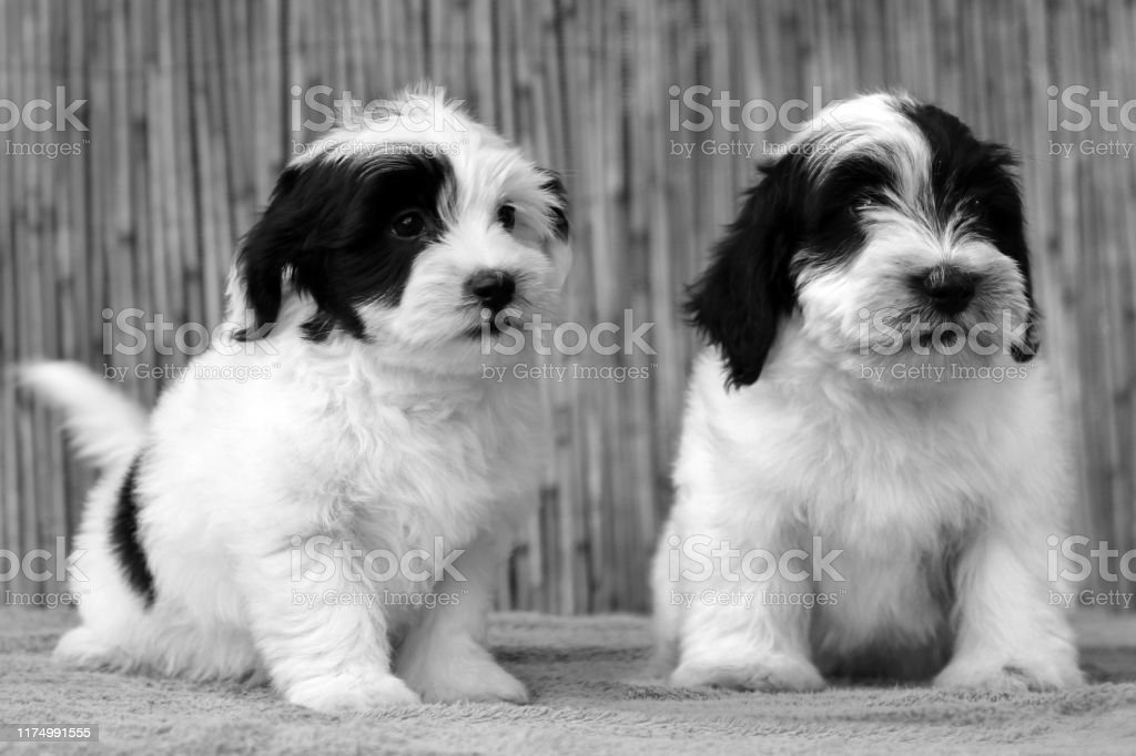 Bichon Havanese Puppies On Natural Background Stock Photo Download Image Now Istock