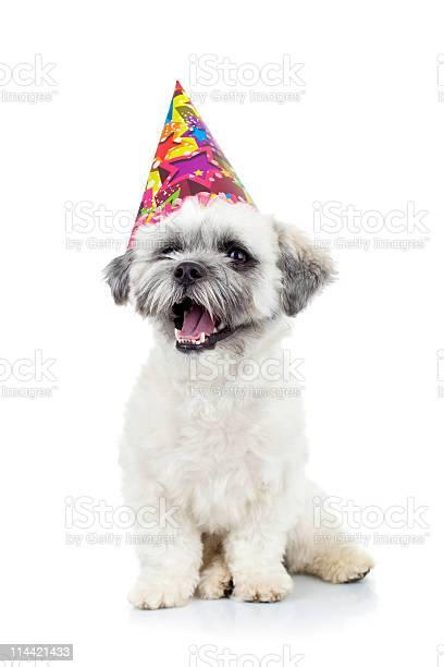 Bichon havanese wearing a colorful party hat picture id114421433?b=1&k=6&m=114421433&s=612x612&h=k23hnze7qfzhzywbrnhdgnv4arxtss1z5pkidf6dghy=