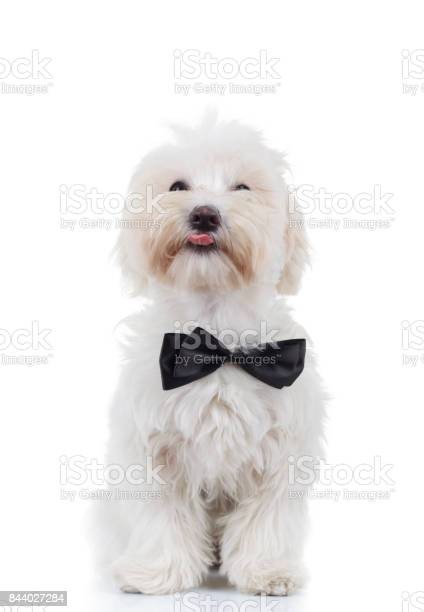Bichon puppy is sitting and sticking out tongue picture id844027284?b=1&k=6&m=844027284&s=612x612&h=f7ek yrs5ob6punun5 jtoaviwepaodhtb6objbw81y=