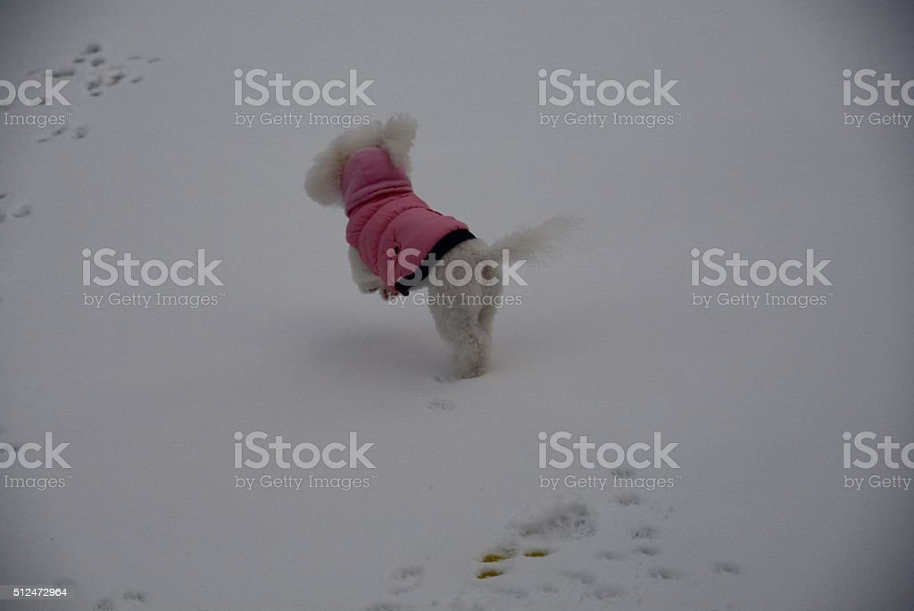 Bichon Snow Romper stock photo