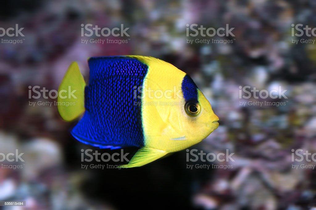 Bicolor angelfish (Centropyge bicolor) stock photo