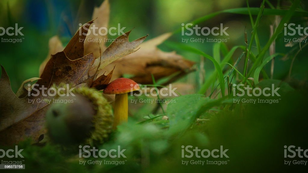 Bicolor Boletus Mushroom Under a Leaf stock photo