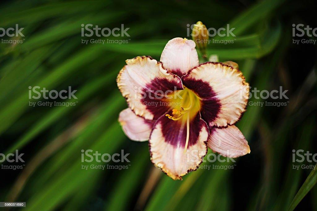 Bicolor Daylily Hemerocallis royalty-free stock photo