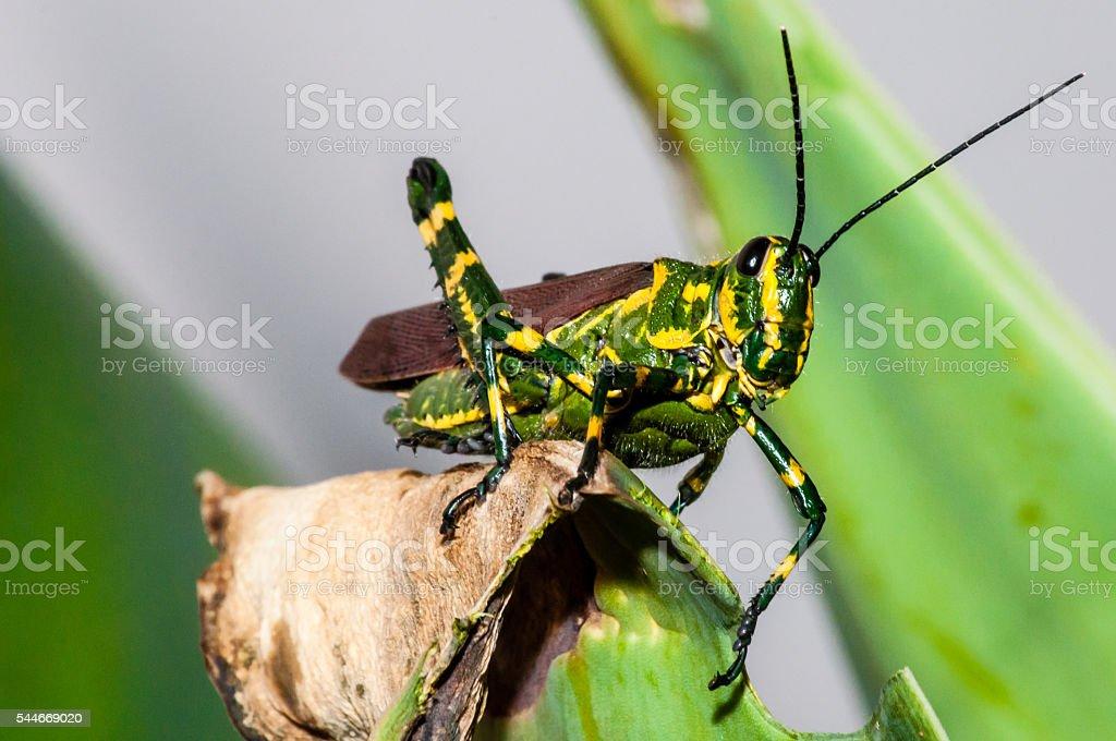 Bi-Color Grasshopper stock photo