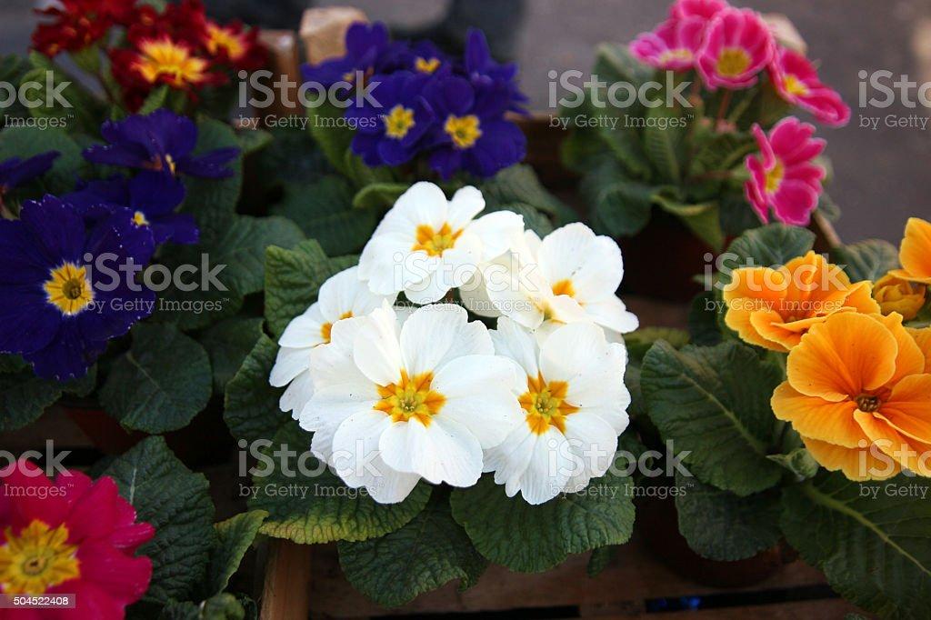 Bicolor Primrose Flowers stock photo