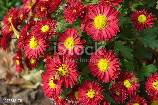 Bicolor red and yellow flowers of Chrysanthemums in November