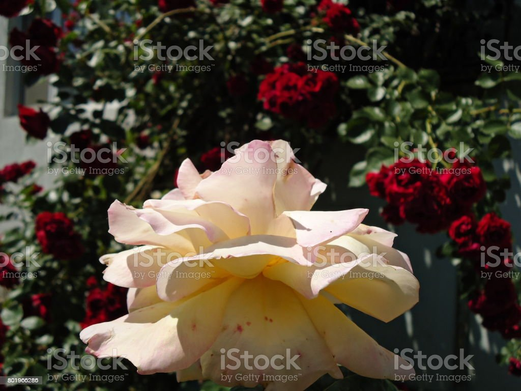 Bicolor Rosepeace Rosa Side View In Focus On Red Rose Arch
