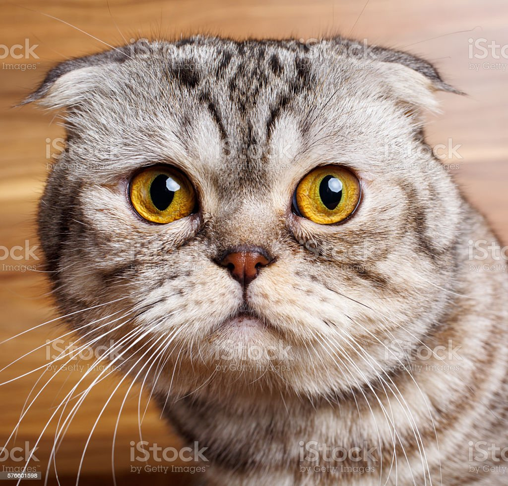 Bicolor Paski Z żółte Oczy Kot Szkocki Zwisłouchy Stockowe Zdjęcia