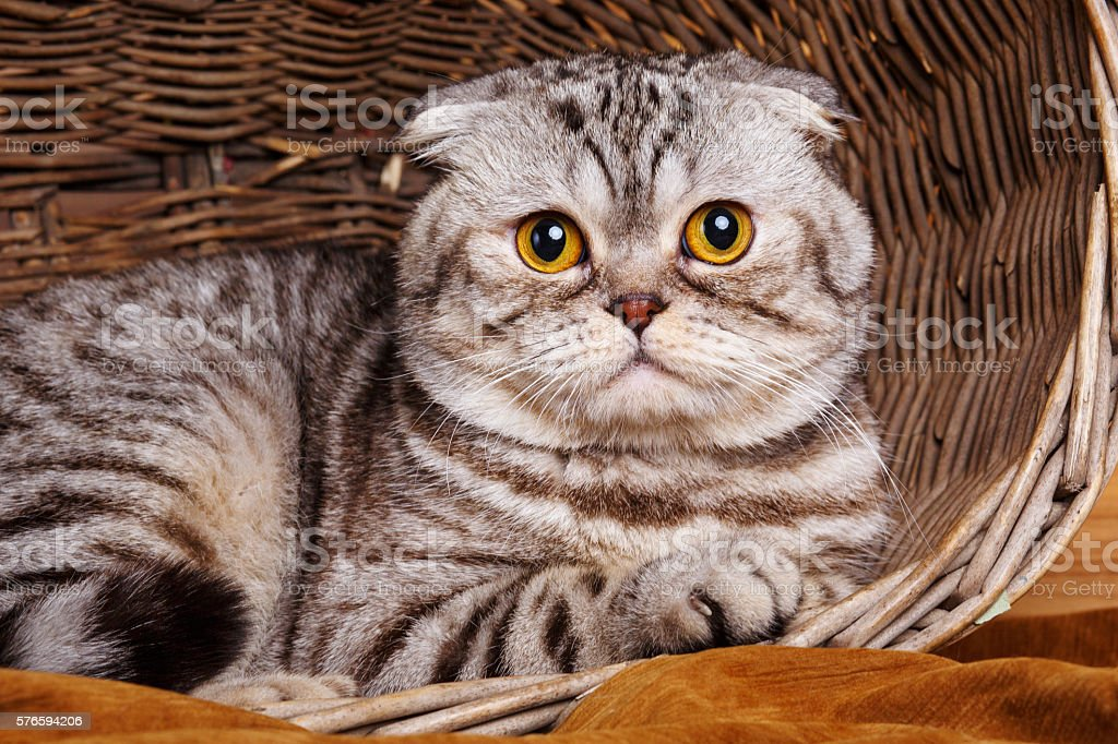 bicolor stripes cat with yellow eyes Scottish Fold Sits in stock photo