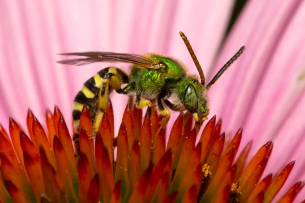 Bicolored Agapostemon sweat bee stock photo