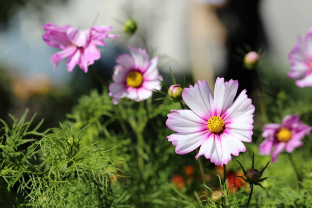 Bicolored (White and Pink) Cosmos Flowers with a Soft Background during a Sunny Summer Day in Finland stock photo