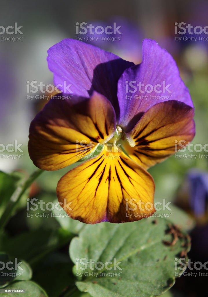 Bi-Colored Viola Bedding Plant stock photo