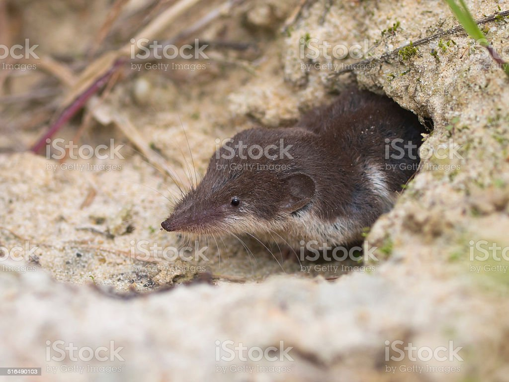 Bicolored White-toothed Shrew stock photo