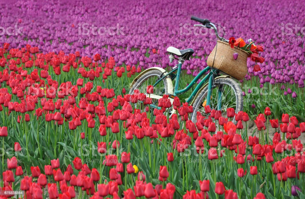 Bicycle and tulips стоковое фото