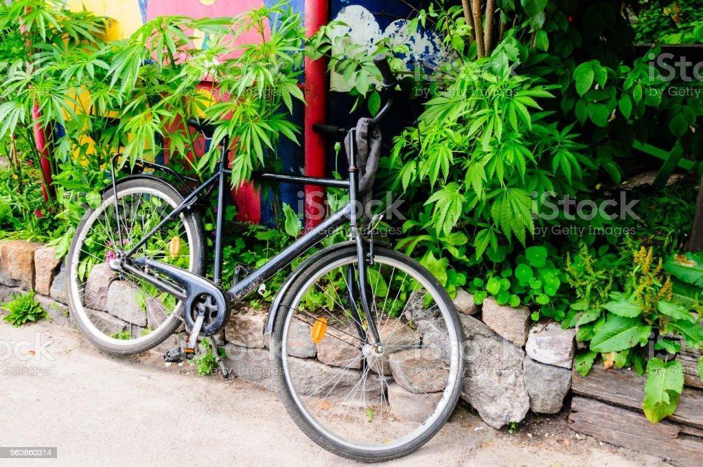 Ein Fahrrad ist gegen Marihuana Sträucher in einem Garten in Freetown Christiana, Copenhagen geparkt. – Foto