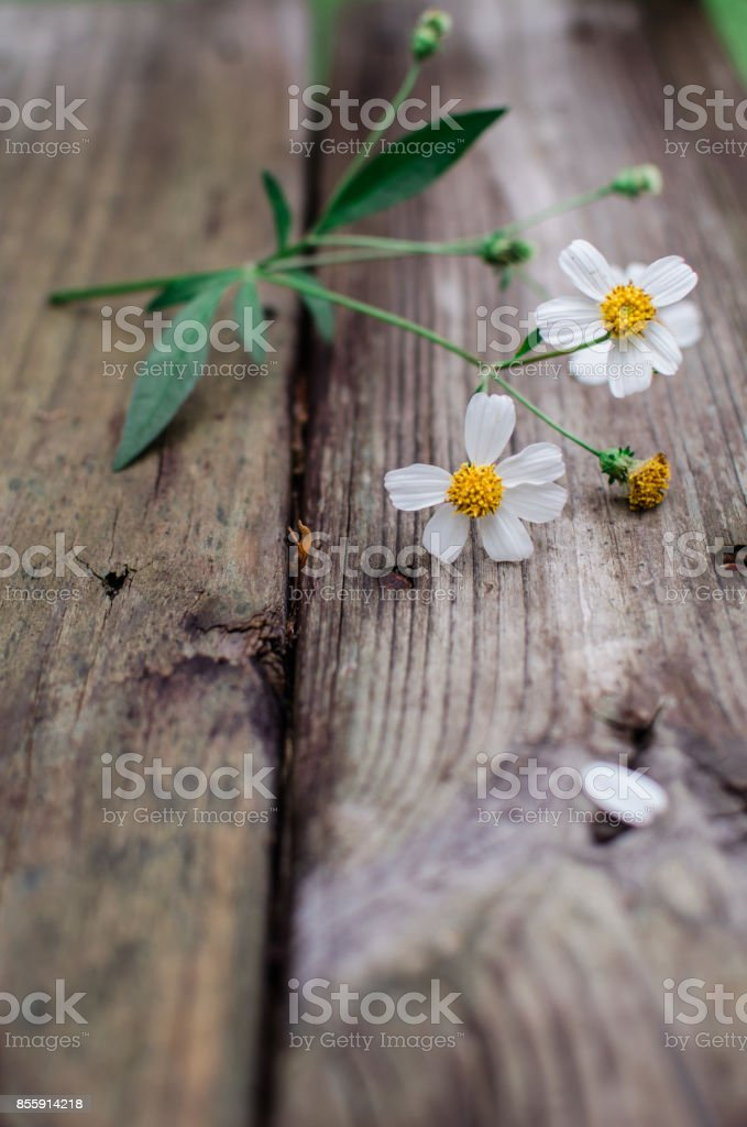 Bidens Alba: Weeds/ wildflower stock photo