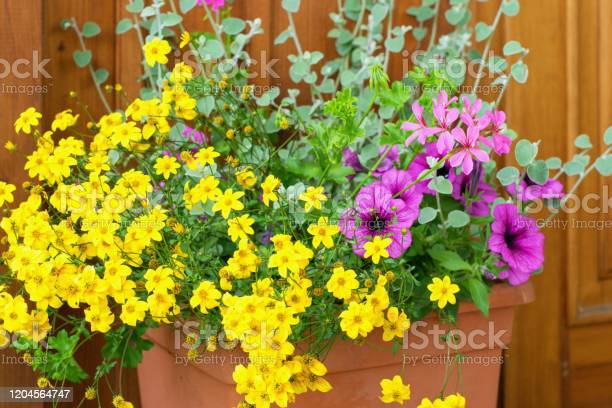 Photo of Bidens ferulifolia - beautiful yellow flowers planted together with other plants in the pot, summer teracce.