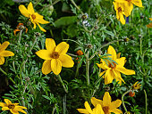 istock Bidens of the Asteraceae family, an ornamental plant in the garden 1319300830