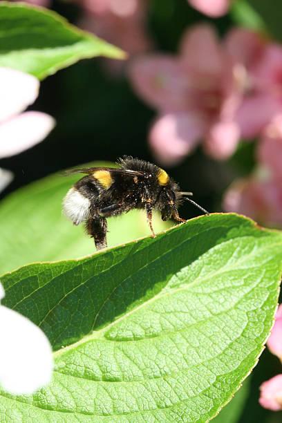 Bee costume auf Blatt – Foto