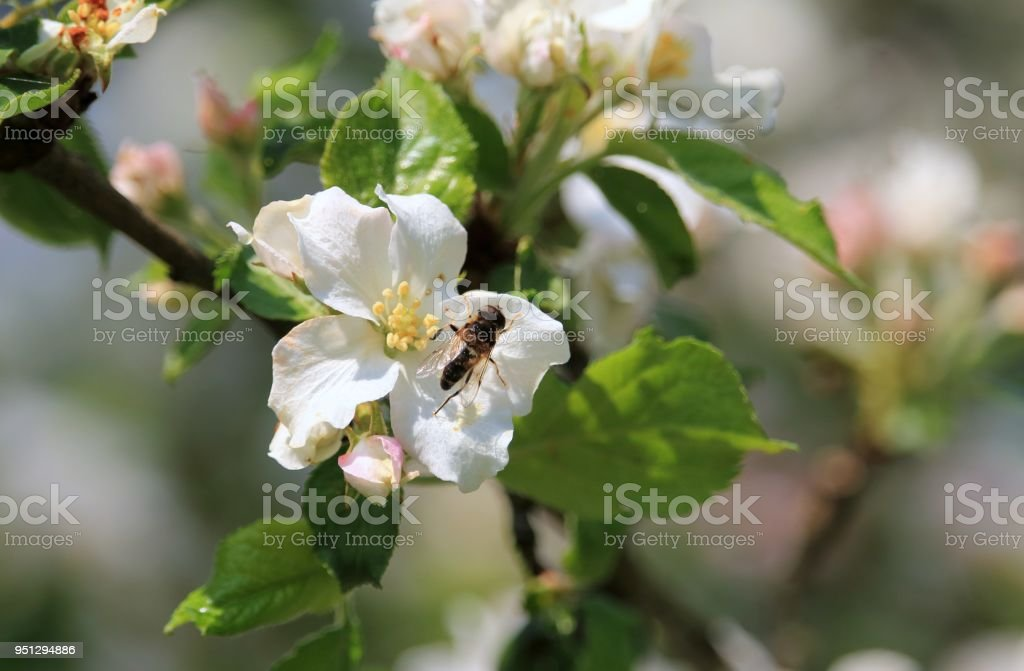 Biene auf der Blüte stock photo