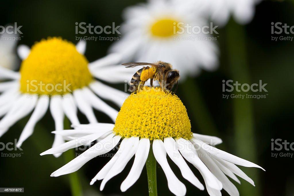 Biene stock photo