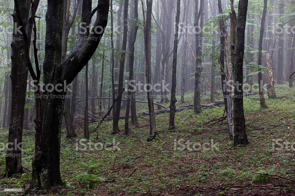 Bieszczady National Park , old forest royalty-free stock photo