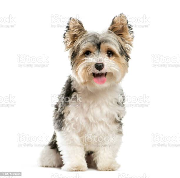 Biewer yorkshire terrier 3 years old sitting in front of white picture id1137588644?b=1&k=6&m=1137588644&s=612x612&h=yq7faqwuvgn6gsih0cnk0ssyxo1vxz42knpamaytb4m=