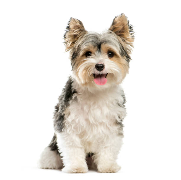 Biewer yorkshire terrier 3 years old sitting in front of white picture id1137588644?b=1&k=6&m=1137588644&s=612x612&w=0&h=e08oxnl 4vtt3h4x4oaulpbcdovkqmnawanh2r7nswa=