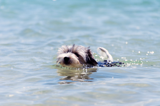 Biewer Yorkshire Terrier puppy dog swims in a crystal clear sea