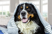 istock Big adult bernese mountain dog lying on the bed under the grey plaid. Cold weather, autumn, winter 1181455879