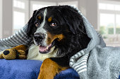 istock Big adult bernese mountain dog lying on the bed under the grey plaid. Cold weather, autumn, winter 1181455989