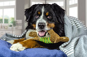 istock Big adult bernese mountain dog lying on the bed under the grey plaid. Cold weather, autumn, winter 1181455991