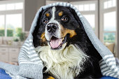 istock Big adult bernese mountain dog lying on the bed under the grey plaid. Cold weather, autumn, winter 1181456021