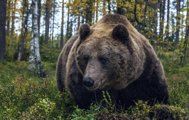 Big Adult Male of Brown bear in the autumn forest. Closeup front view. Scientific name: Ursus arctos. Natural habitat. stock photo