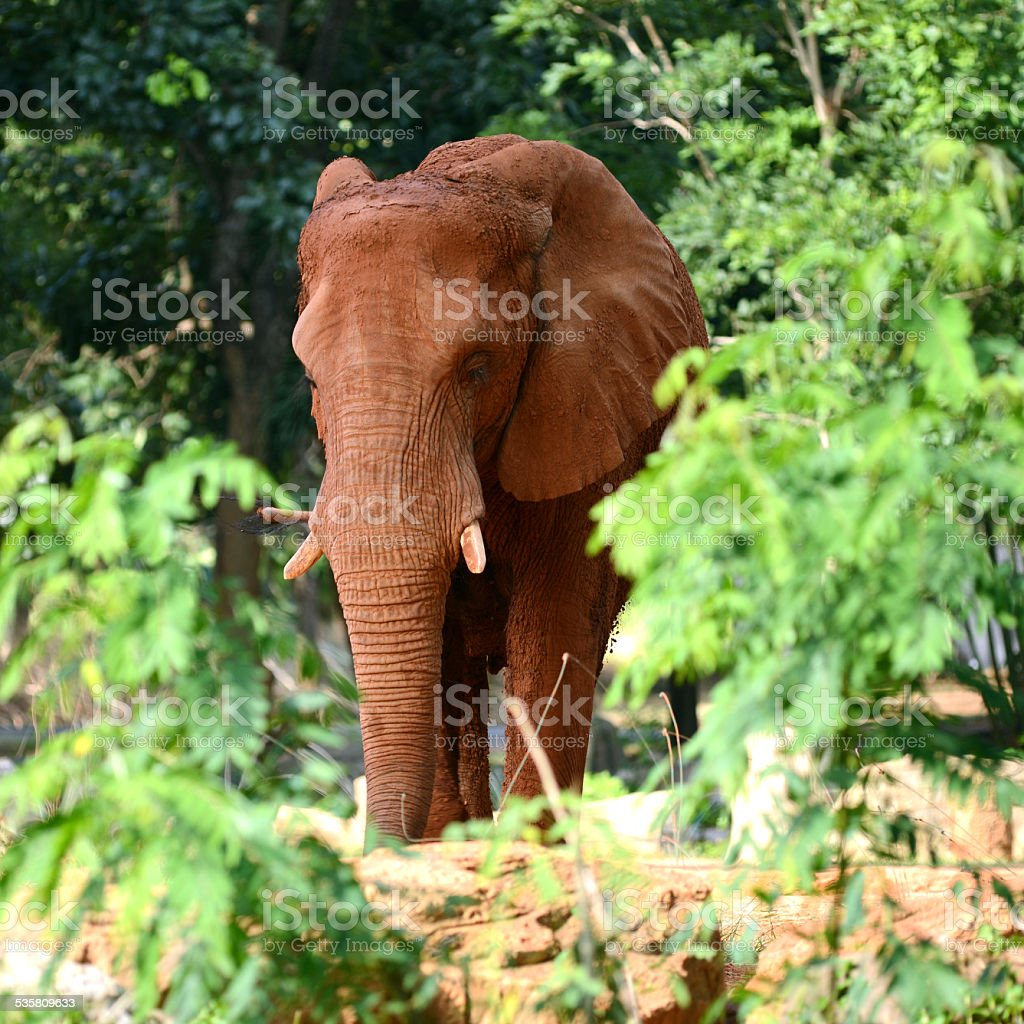 Big African elephant in forest stock photo